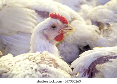 Itaiopolis, Santa Catarina, Brazil, September 25, 2009. Chicken Farm, Poultry in Santa Catarina state, Brazil,.