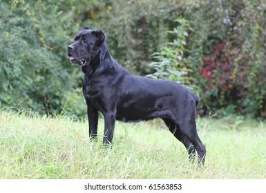 italian cane corso