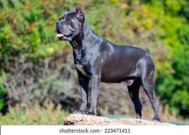 Italian Cane Corso dog in outdoor
