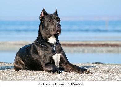 Italian Cane-Corso dog