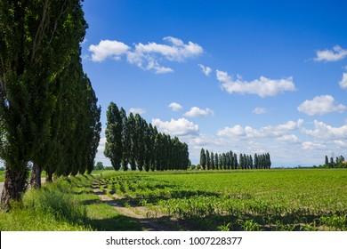 Italian countryside with poplar trees. Emilia Romagna