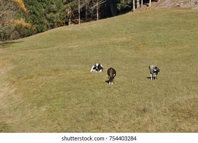 the italian cow