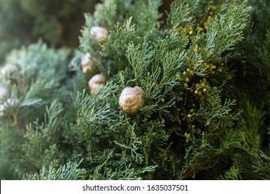 Italian Cypress (Cupressus sempervirens), texture closeup background.