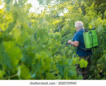 italian farmer spraying copper fungicide to organic vines plants during summer before next harvest in the italian hills of Piacenza