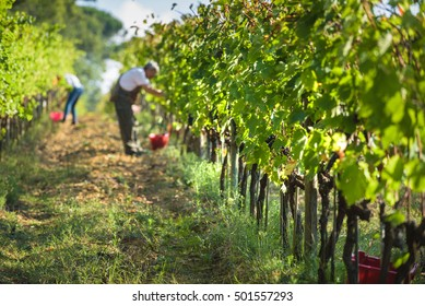 Italian grape harvest for wine in Tuscany.