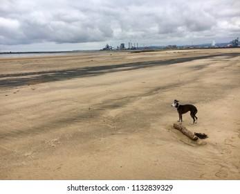 Italian Greyhound dog on beach, Seaton Carew Sand Dunes, Hartlepool, England