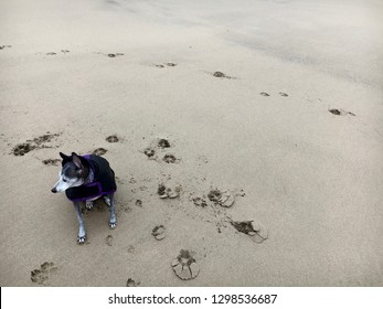 Italian Greyhound Dog on Beach, Streetly Pier, Hartlepool, North Sea, England