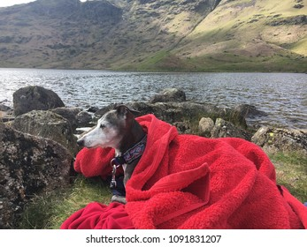Italian Greyhound dog on hike, Easdale Tarn hike, Grasmere, Lake DIstrict, England