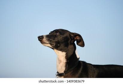 Italian Greyhound dog outdoor portrait with blue sky background
