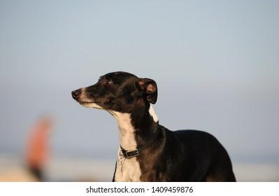 Italian Greyhound dog outdoor portrait