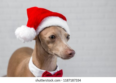 821dd49f3d43c Italian greyhound Dog with a Santa Claus hat.With light background