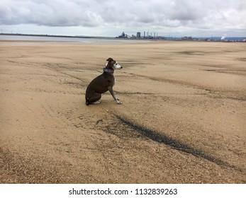 Italian greyhound dog, Seaton Carew Sand Dunes, Hartlepool, England