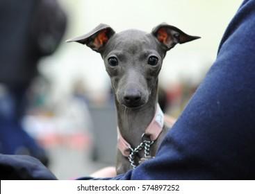 Italian Greyhound at dog show, Moscow.