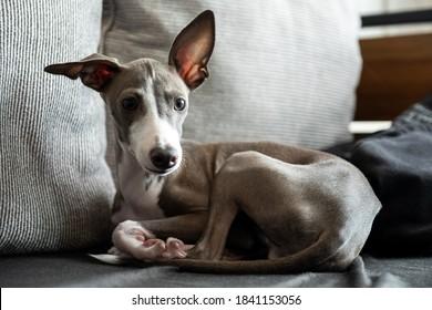 Italian greyhound dog thinking while lying on sofa