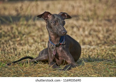Italian greyhound lying down looking alert against a dry grassy background.