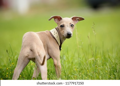 Italian greyhound puppy having fun in high grass, green background, dog photography, brown greyhound puppy, brown dog in high grass, dog with collar