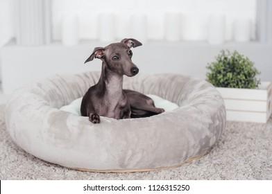 Italian greyhound sleep