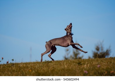 Italian greyhound, summer,  dog plays