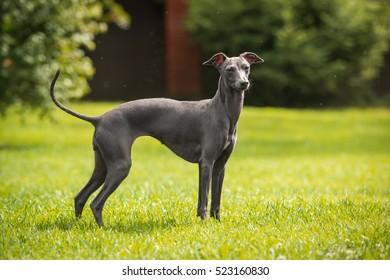 Italian greyhound/Nature
