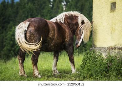 Italian heavy draft horse mare