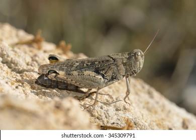 Italian Locust - Calliptamus italicusresting on rock