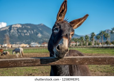 Italian Mule at a Farm in Southern Italy