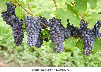 Italian Nebbiolo Red Wine Grapes