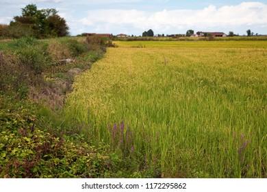 Italian paddy in Piedmont, near Vercelli.