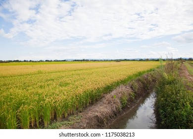 Italian paddy in Piedmont, near Vercelli. Organic cultivation with stream