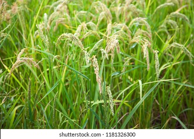Italian paddy in Piedmont, near Vercelli. Detail of ears of rice in an organic cultivation