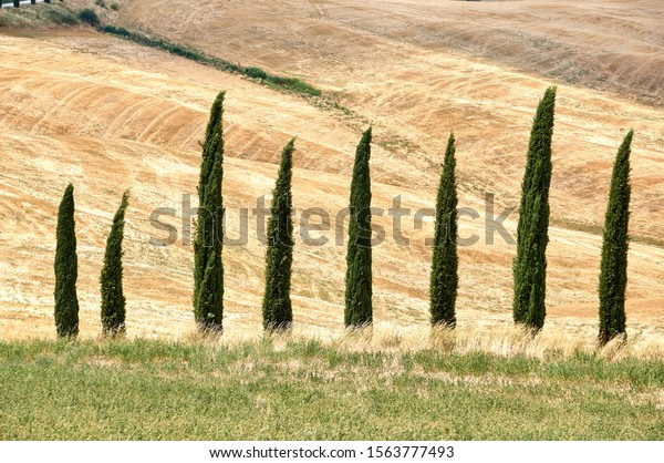 Italian pines, Toscana. Beautiful summer landscape in Tuscany/Toscana, Italy. Sunny day, green and yellow grass, pines, winding road. Italian Tuscany landscape.