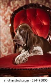 A Italian Pointer portrait puppy, an Italian hunting dog. Italian Setter