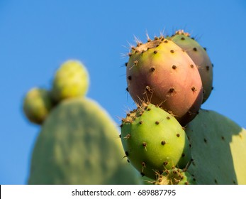 italian prickly pears plant in first days of august - Shutterstock ID 689887795