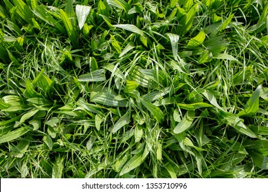 Italian ryegrass and environmental plantain grown in a rural field for winter stock grazing