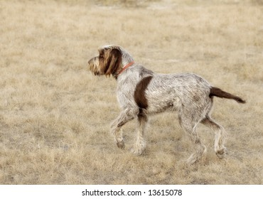 An Italian Spinone hunting in a field.
