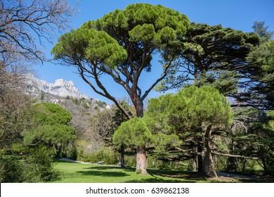 Italian stone pine (Pinus pinea) in front of Ai-Petri mountain background, Crimea, Vorontsov Palace and Park, Alupka region