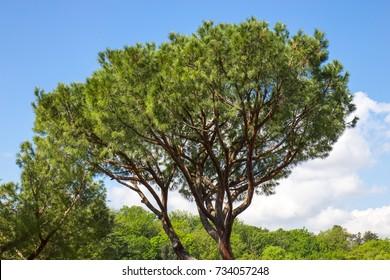 Italian stone pine (Pinus pinea)