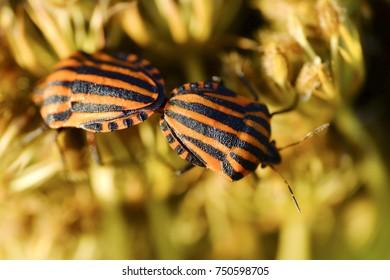 Italian striped bug and minstrel bug