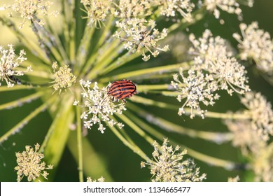 Italian Striped bug on plant from parsley family or umbellifers. Minstrel bug (Graphosoma lineatum) has almost round body, with a large shield. It is colored in orange yellow with wide black stripes.
