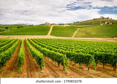 Italian vineyard in Abruzzo. The wine is MOntepulciano D'Abruzzo.