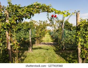 Italian Vineyard Garden