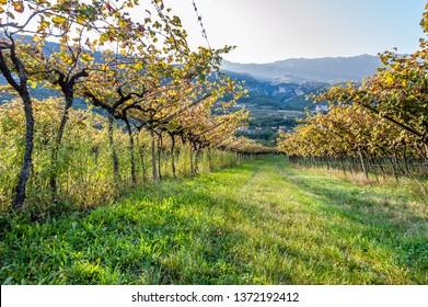 Italian vineyard in the sun. Garda Lake wine. Grappa vines. Italy