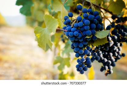 Italian vineyards of Langhe near Alba (Piedmont), with grapes ready for harvest