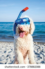 Italian waterdog at the beach