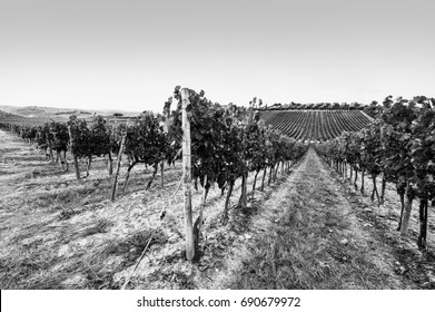 Italian wine farm surrounded with vineyards and olive trees. Black and white picture