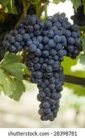 Italian winegrape variety Nebbiolo growing in an Australian vineyard