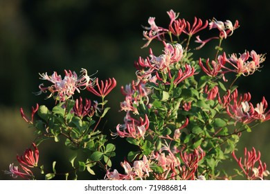 Italian woodbine or perfoliate honeysuckle, Lonicera caprifolium