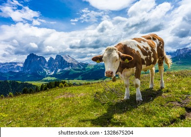 Italy, Alpe di Siusi, Seiser Alm with Sassolungo Langkofel Dolomite, a brown and white cow standing on top of a lush green field