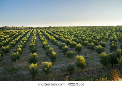 Italy - Apulia - Murge - Olive trees at Montegrosso at dawn