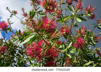 Italy, Feijoa plant flowers in a garden (Acca sellowiana Sp.)